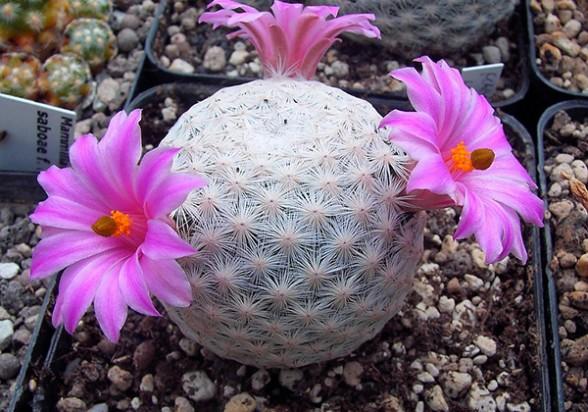 30 de las especies de cactus est n en peligro de for Especies de cactus