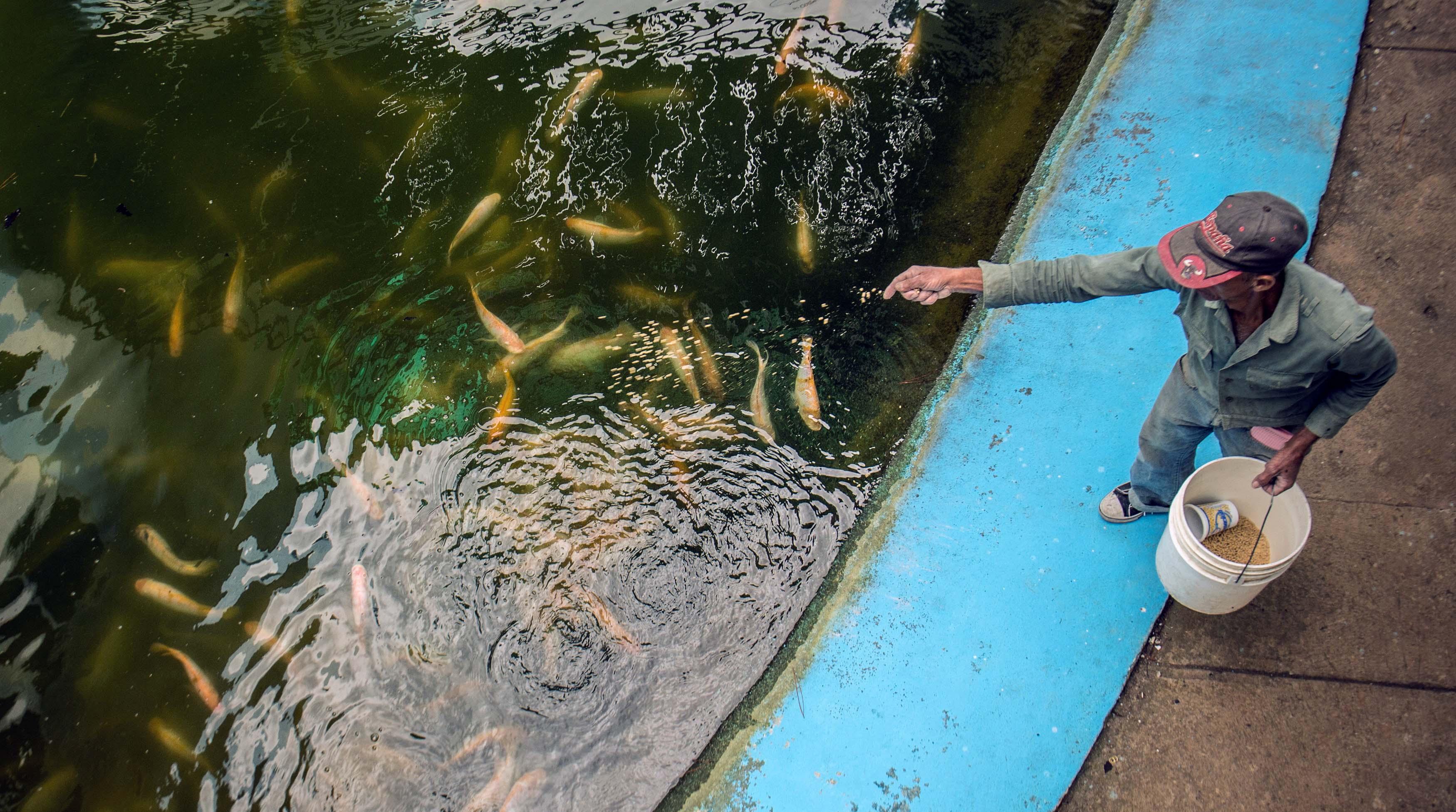 Alerta por un virus contagioso que afecta a cultivos de for Criadero de pescado tilapia