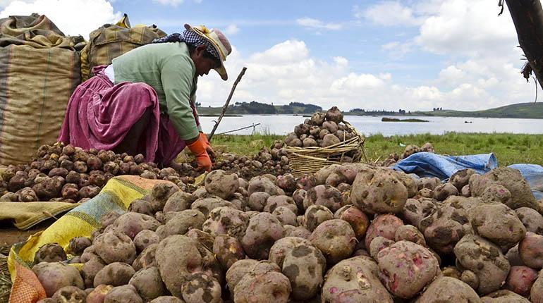 Productores de Larati adelantan cosecha de papa debido a las lluvias | Los Tiempos