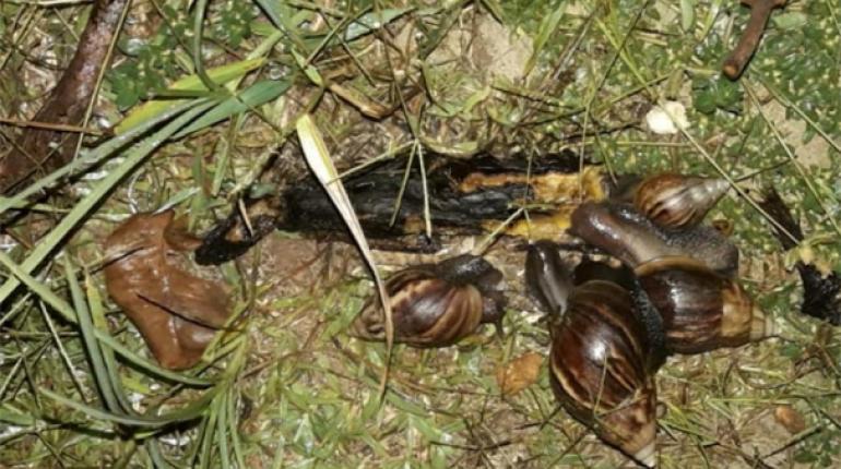 Detectan la presencia del caracol africano en Santa Cruz: ¿por qué tener cuidado con esta especie?