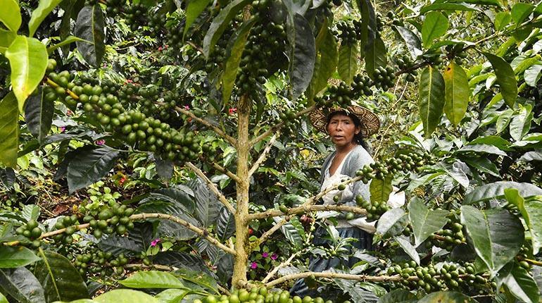 Bolivia produce café de alta calidad, pero no se queda en el país para  degustarlo | Los Tiempos