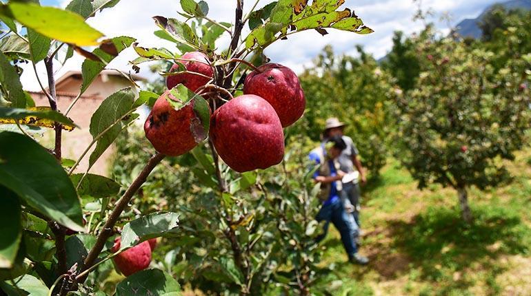 Fruticultores locales de manzana hacen frente a la baja producción y creciente importación de Chile