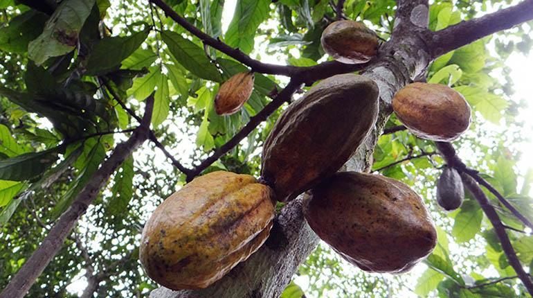 FAO concluye que Bolivia no aprovecha ni siquiera el 1% de su potencial de cacao