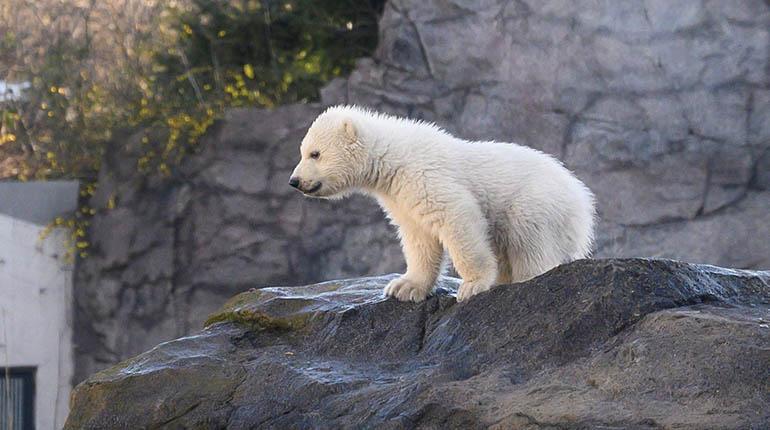 El Zoo De Viena Presenta Una Cría De Oso Polar La Primera En Doce Años Los Tiempos